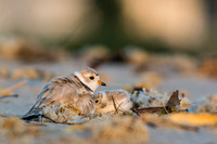 Baby piping plover ready to warm up