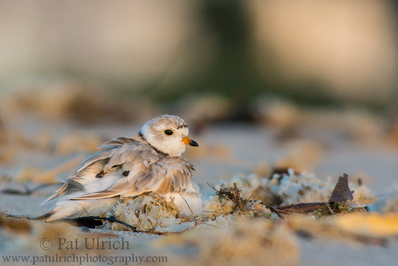 Two piping plover chicks in an underwing hug from their parent in Massachusetts