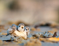 Piping plover peek-a-boo