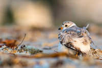 Piping plover with chick tucked under its wing