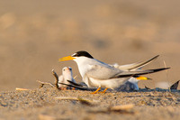 Least tern with young chick