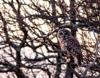 Barred owl in Parker River NWR