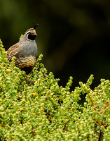 Quail on a high perch