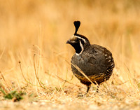 Quail in the grass