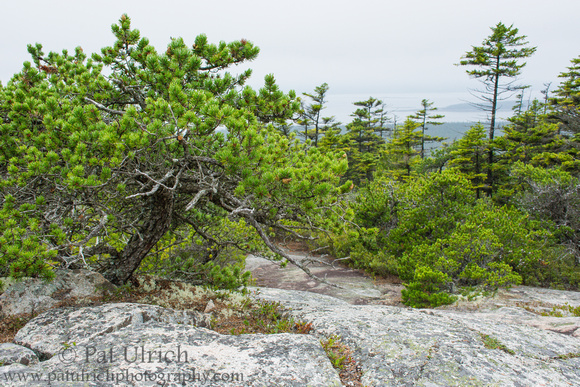 Pine trees and granite near the summit of Schoodic Head in Acadia