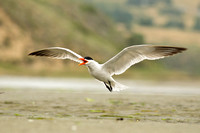 Tern calling in flight