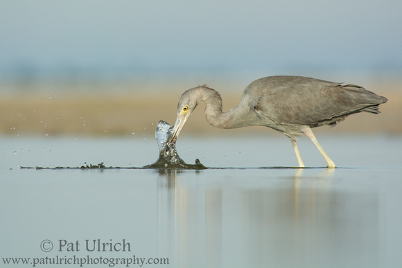 Little blue heron snatching a fish from the tidal pool