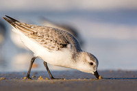 Sanderling feeding at Parker River NWR