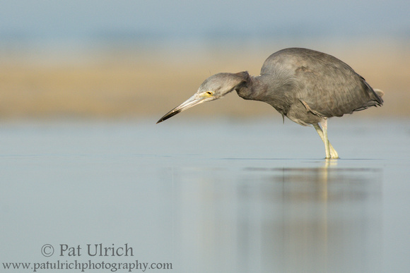 Little blue heron ready to strike at Bunche Beach, Florida