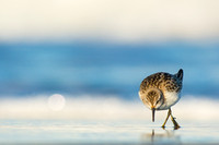 Searching semipalmated sandpiper
