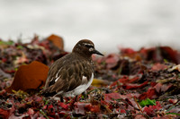 Turnstone on kelp