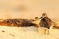 Sandpiper over the shoulder