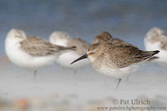 Dunlin being pelted with blowing sand on the beach