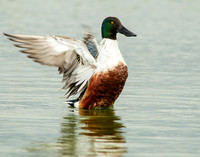 Northern shoveler stretches its wings