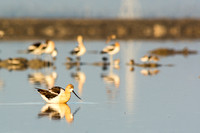Group of avocets