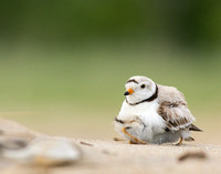 Piping plover chick wants to brood
