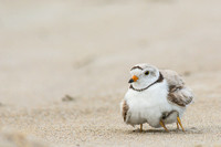 Brooding piping plover