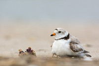 Piping plover brooding young chick