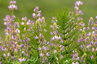 Horsetail and lupine