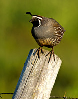 Quail on a diagonal post