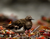 Turnstone looking up
