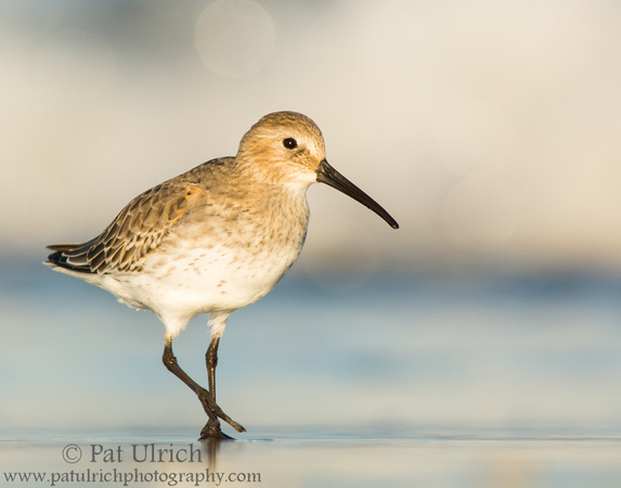 Dunlin pauses mid-stride while walking on the beach in Massachusetts