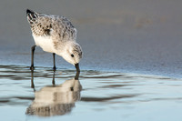 Sanderling feeds with reflection