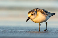 Sanderling in the warm glow of sunset