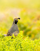 Male quail on the bush