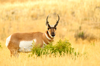 Pronghorn by the bush
