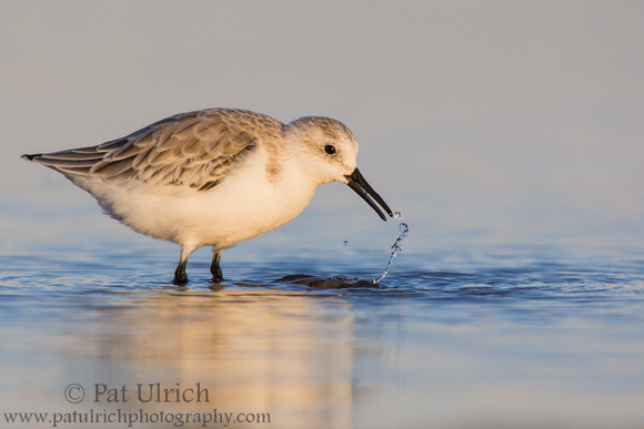 Sanderling tracing a line of water at Parker River National Wildlife Refuge