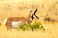 Pronghorn in profile