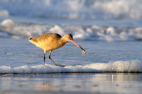 Marbled godwit with prey