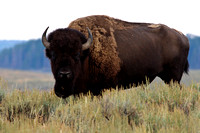 Bison feeding in the sagebrush
