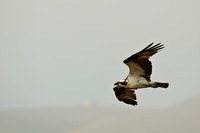 Osprey fly by