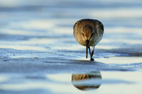 Dunlin searching beside its reflection