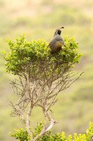 California quail perched on a high branch of coyote brush