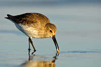 Dunlin catches prey, Parker River NWR