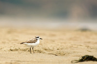Small plover, big beach