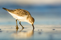 Least sandpiper feeding