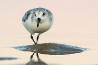 Sanderling after sunset