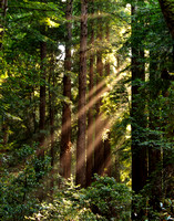 Light beams through redwoods