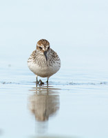Semipalmated sandpiper reflected in a tidal pool