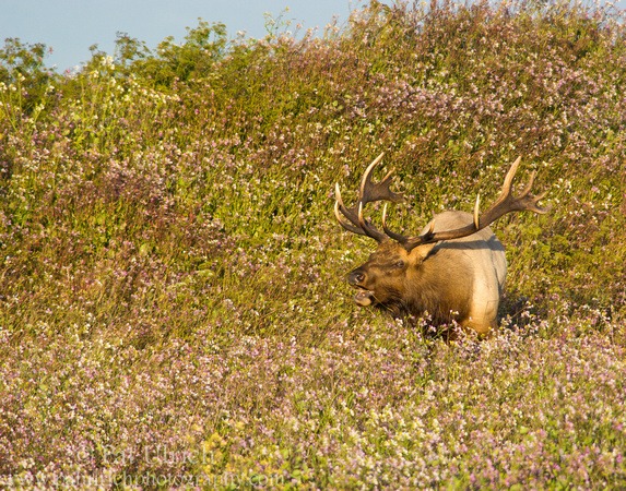 Bull tule elk bugling in wildflowers in Point Reyes National Seashore