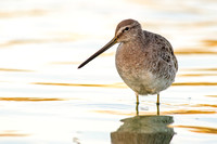 Dowitcher shows off its long bill