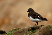 Black turnstone on Drake's Beach