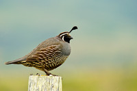 California quail along Sir Francis Drake