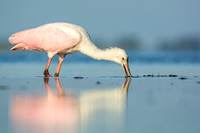Reflection of a feeding spoonbill