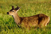 Young buck eating grass