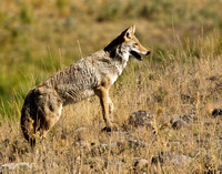 Coyote near Slough Creek